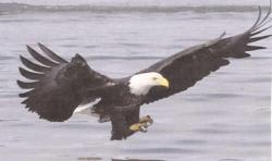 Click to enlarge image  - Bald Eagle -