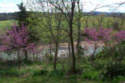 Click to enlarge image  - Red Bud Trees -
